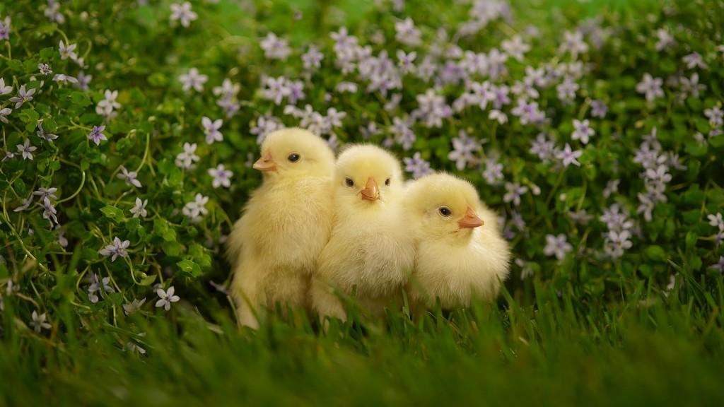 Kippen-achtergronden-dieren-kippen-wallpapers-foto-1